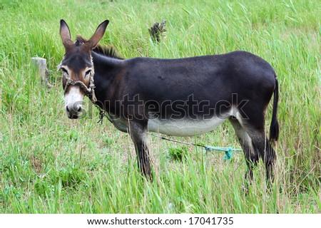 A grazing donkey on rural grassland - stock photo