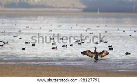 A Great Black Cormorant, Phalacrocorax carbo, or Corvo marinho opening its wings as it was summoning all the other birds. Eurasian Coot, Fulica atra, at the Obidos lagoon, Portugal - stock photo