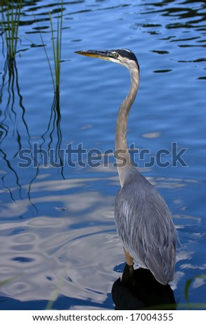 A great blue heron - stock photo