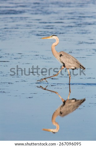 A great blue heron, a wading bird found throughout North America, is reflected in a salt water pool as it stalks its prey on Florida's Sanibel Island. - stock photo