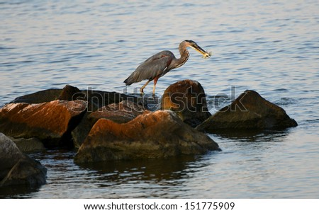 A Great Blue Heron catches a fish on the Chesapeake Bay in Maryland - stock photo