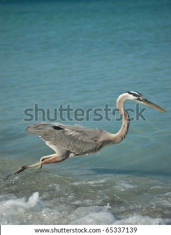 A Great Blue Heron fishing in the shallow waters of a Gulf Coast Florida beach. - stock photo