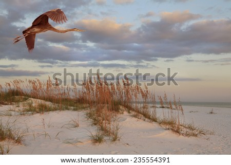 A Great Blue Heron Flies Over the Beach and Sea Oats at Sunrise - stock photo