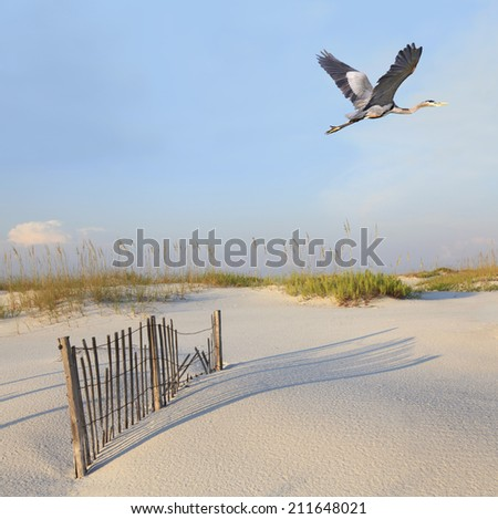 A Great Blue Heron Flying Over a Beautiful White Sand Florida Beach - stock photo