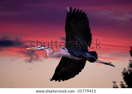 A great blue heron in flight against the sunset