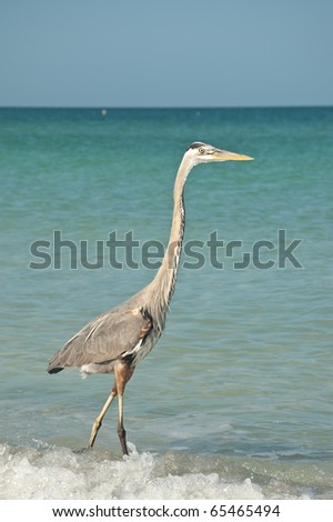 A Great Blue Heron in the shallow water of a Gulf Coast Florida beach. - stock photo