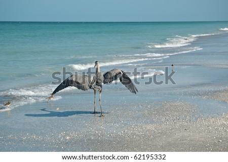 A Great Blue Heron lands on a Gulf Coast beach near a few shorebirds. - stock photo