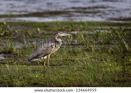 A Great Blue Heron standing in a grassy marsh. - stock photo