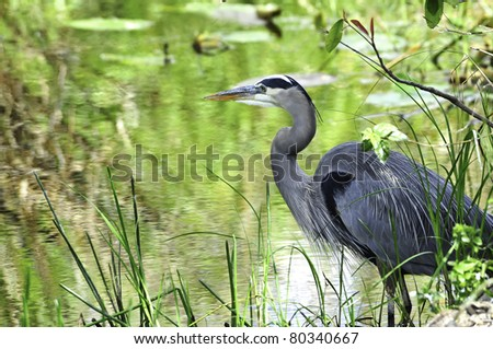 A great blue heron standing on the edge of a swamp - stock photo