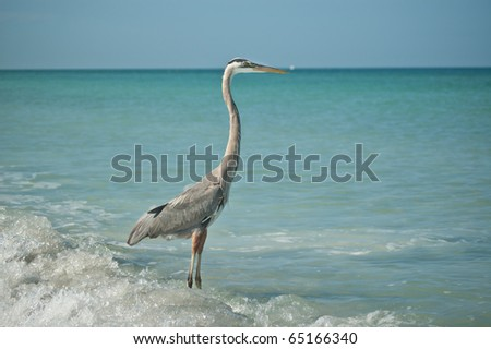 A Great Blue Heron stands in the shallow waters of a Gulf Coast Florida beach. - stock photo