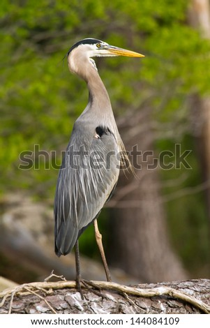 A Great Blue Heron stands tall on a fallen tree. - stock photo