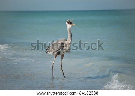 A Great Blue Heron swallows a fish while standing in the shallow waters of a Gulf Coast Florida beach. - stock photo