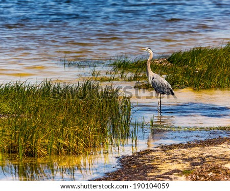 A Great Blue Heron wades in the colorful water of a beach shore. - stock photo