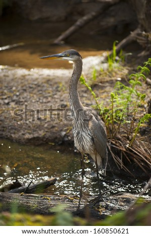 A great blue heron wading in a California coastal creek. - stock photo