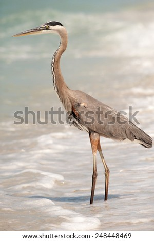 A great blue heron wading in the ocean, watching for food