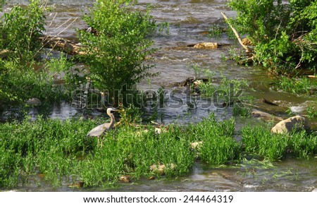 A Great Blue Heron walking among the upper James River foliage hunting for food during it's spring seasonal migration pattern - stock photo
