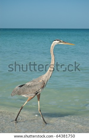 A Great Blue Heron walking in the shallow waters of a Gulf Coast Florida beach. - stock photo