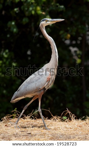 A great blue heron walking through grass. - stock photo