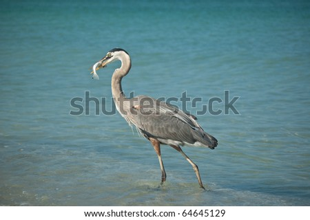 A Great Blue Heron with a fish in its mouth walking in the shallow waters of a Gulf Coast Florida beach. - stock photo