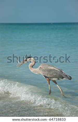 A Great Blue Heron with a fish in its mouth walking in the shallow waters of a Gulf Coast Florida beach.