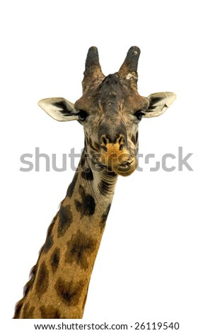 A great close-up of a giraffe