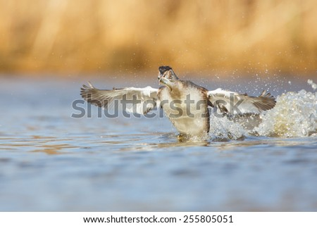 a great crested grebe with a fish  - stock photo
