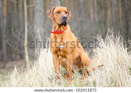 A great dog waiting for his master's at the edge of the forest. - stock photo