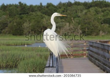 A Great Egret (Ardea alba) perched on a railing overlooking a coastal wetland. - stock photo