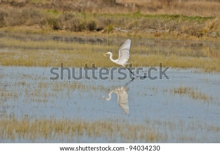 A Great Egret, Ardea alba, with fish in bill during winter at Arcata Marsh and Wildlife Sanctuary, Arcata, California. - stock photo