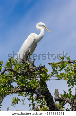 A great egret is perched atop a tree in a Florida swamp with a blue cloudy sky behind. - stock photo