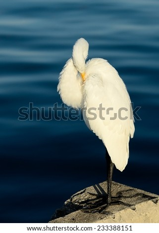 A Great Egret, or Great White Heron (Ardea alba) preening feathers with blue water background. - stock photo