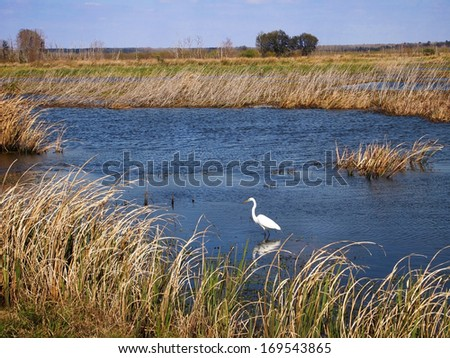 A Great Egret wades in the water of a marshland area in the southern United States.  - stock photo