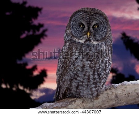 A great gray owl against a sunset