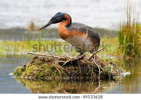 A Great Grebe on its nest - Tierra Del Fuego, Argentina. - stock photo