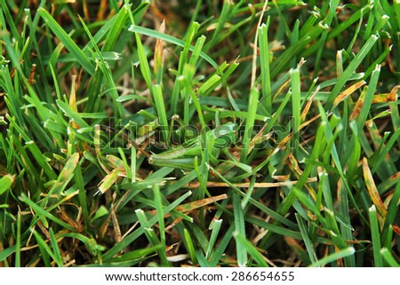 A Great Green Bush-Cricket (Tettigonia viridissima) well camouflaged in grass. - stock photo