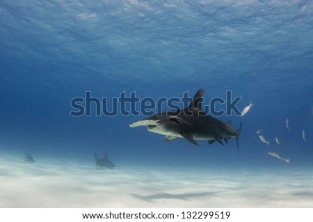 A great hammerhead shark, Sphyrna mokarran, swims in shallow, sandy, water off Bimini in the Bahamas. - stock photo