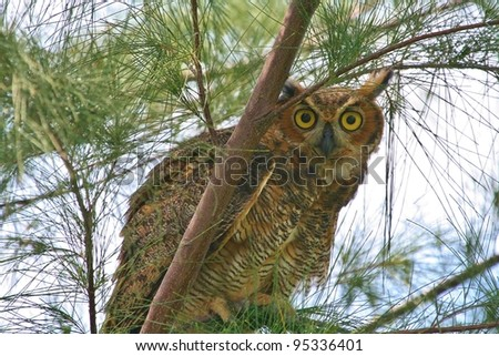 A Great horned Owl in a pine tree. - stock photo