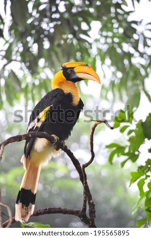 A Great Pied hornbill sits on a branch, hala-bala Thailand - stock photo