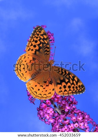 A Great Spangled Fritillary Butterfly (Speyeria Cybele) at a Royal Red butterfly bush. - stock photo
