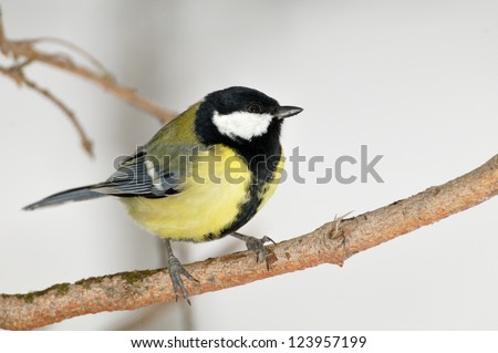 a great tit (Parus major) bird against a snowy background - stock photo