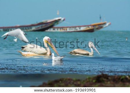 A Great White and Pink-backed Pelican floating in front of local fishing boats - stock photo