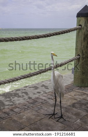 A Great White Egret stands on the patio at a Florida Gulf Coast Resort. - stock photo