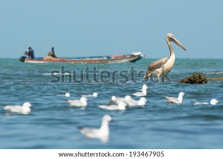 A Great White Pelican (Pelecanus onocrotalus) standing in the ocean as a boat passes by - stock photo