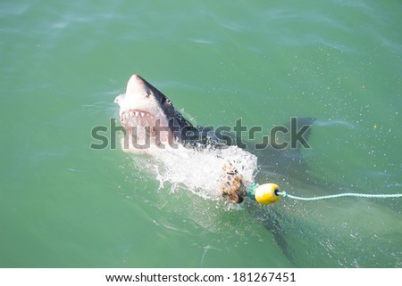 A Great White Shark Attacking a Decoy and Bait in the Ocean - stock photo