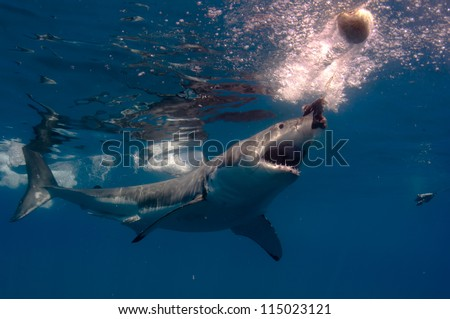 A great white shark cuts and turn and heads for the bait at a popular shark diving destination, Guadeloupe Island, Mexico. - stock photo