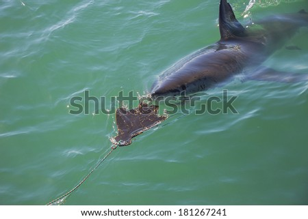 A Great White Shark Stalking a Wooden Seal Decoy in the Ocean - stock photo