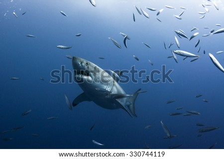 A Great White Shark Surrounded by Small Fish - stock photo