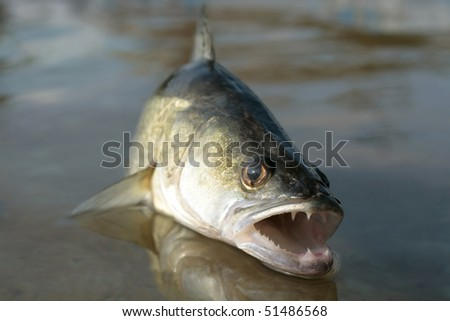 A great zander jumping out of water to attack its prey, bigwig head - stock photo
