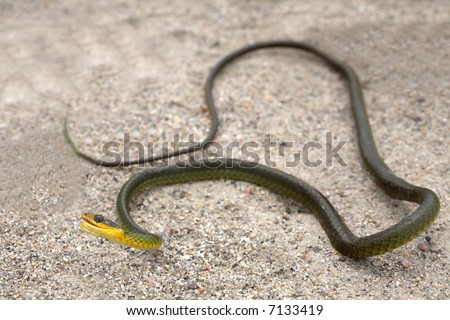 A green and yellow snake on the sand. - stock photo