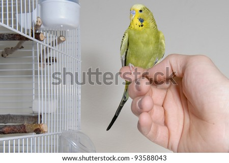 A green budgie sitting on a finger outside the cadge - stock photo